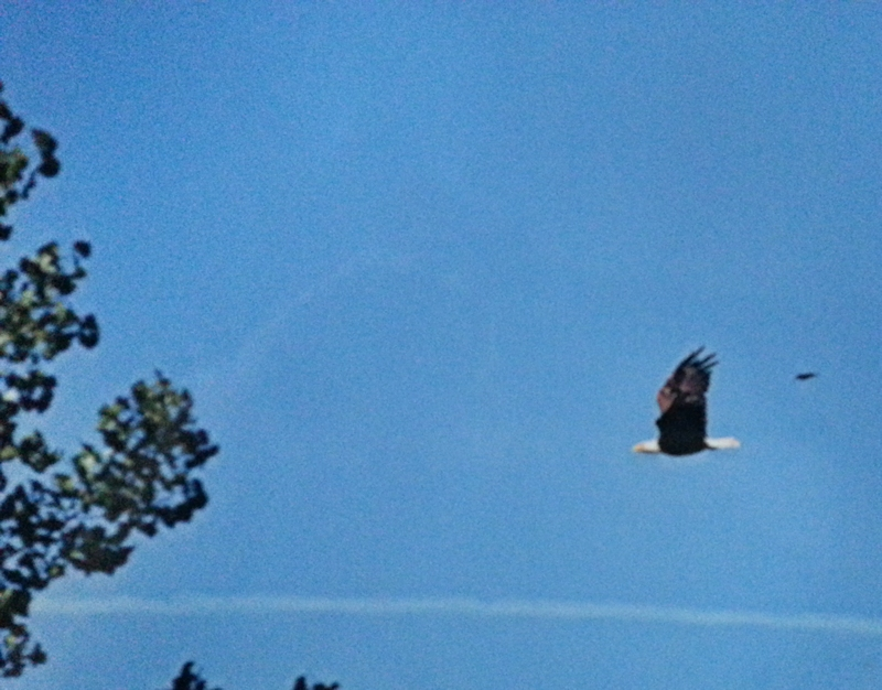 American Eagle at Luck Lake Campground - Click on the photo to see a larger photo
